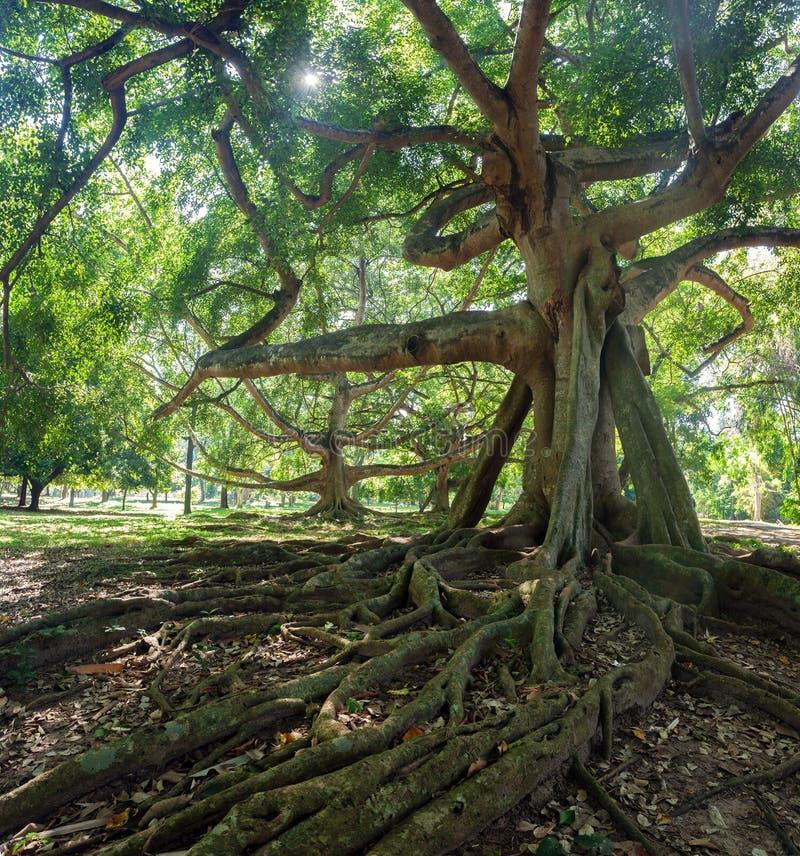 Old tree in the Royal Botanical Garden in Kandy. Sri Lanka stock images