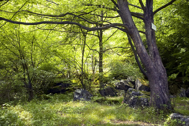 Old tree in spring mixed forest stock photography