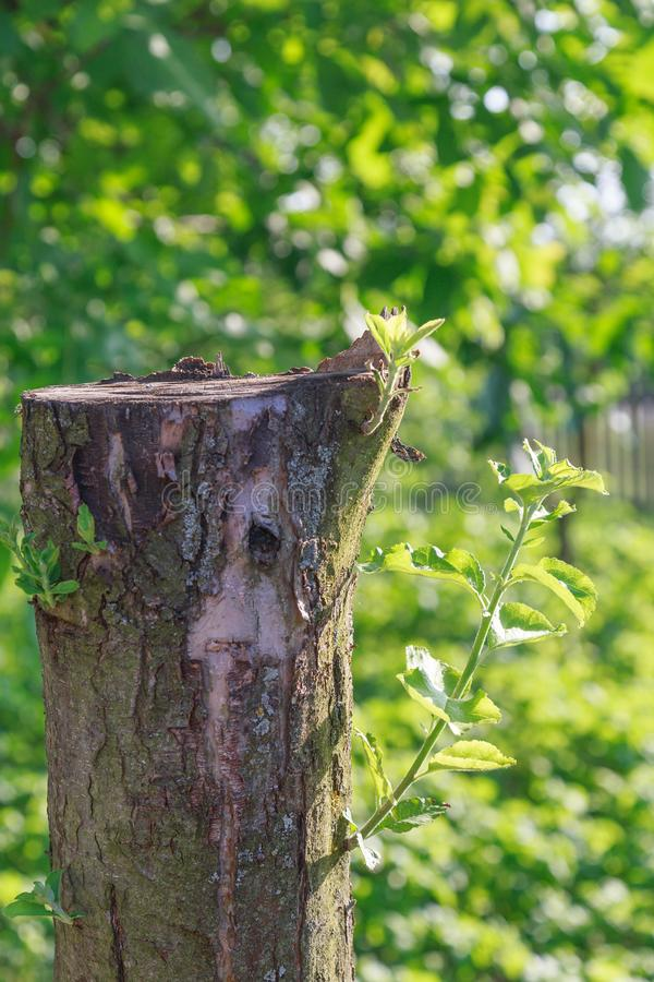 From the old tree sprouted young branches. Against the background of green trees stock photography