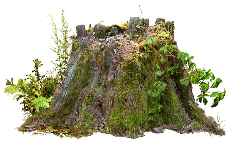 Cut out tree stump. Mossy trunk. Old tree stub. Dead tree stump isolated on white background. PNG file with transparent background also available. Mossy stump stock images