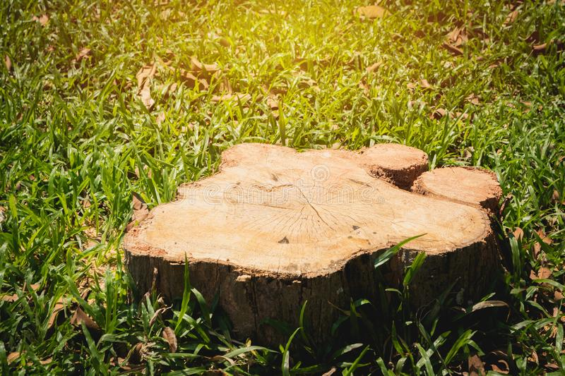 Old tree stump on green grass field, garden. The stump is surrounded by green grass field. stock photo