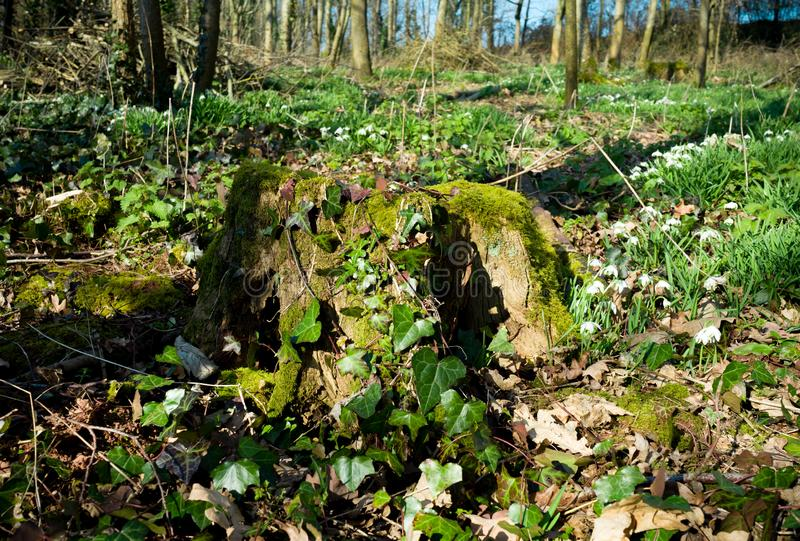 Old tree stump overgrown with moss and ivy surrounded with snowdrops stock images