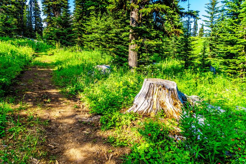 Old Tree Stump on Tod Mountain near the village of Sun Peaks in BC Canada royalty free stock images
