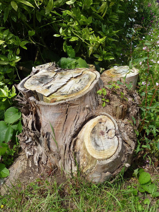 Download Old tree trunk stock photo. Image of outside, plant, scenic - 26552550