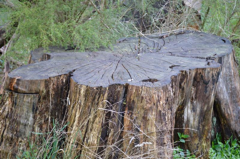 Old Tree Trunk. The size of the tree trunk represents the size of the tree which once stood majestic in this area stock photos