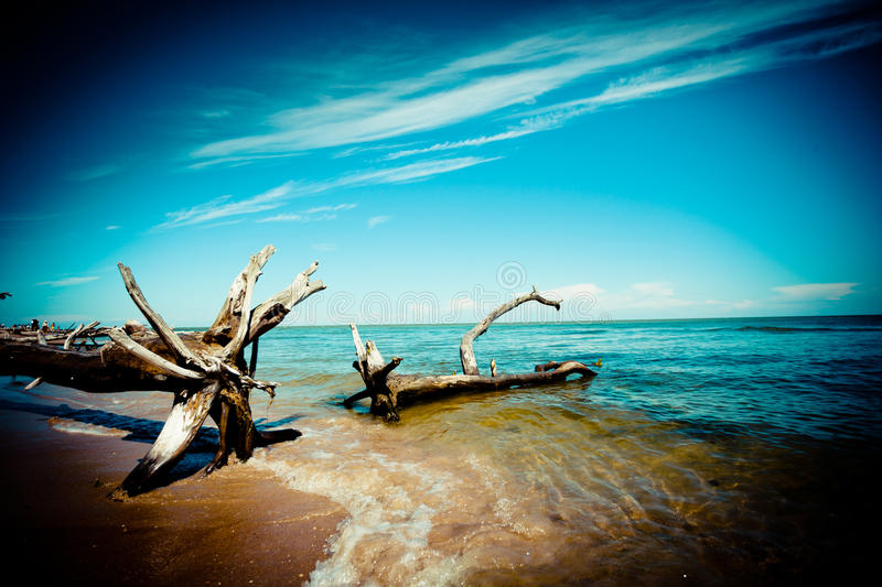 Old trees on the coast of sea. Summer time sea coast with old trees stock images