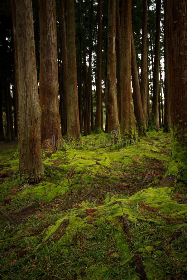 Old trees in a forest with the floor covered with moss. stock photography