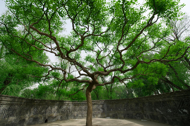 Old trees in the old Summer Palace royalty free stock photo