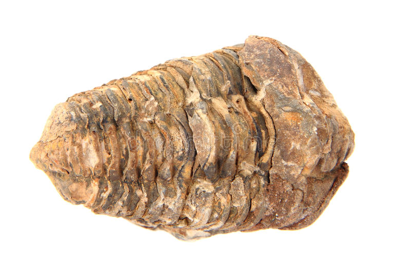 Old trilobite fossil. On the white background royalty free stock image