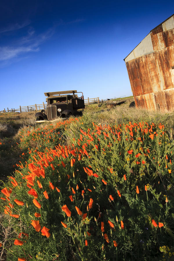 Old truck and barn in field of California Poppies royalty free stock image