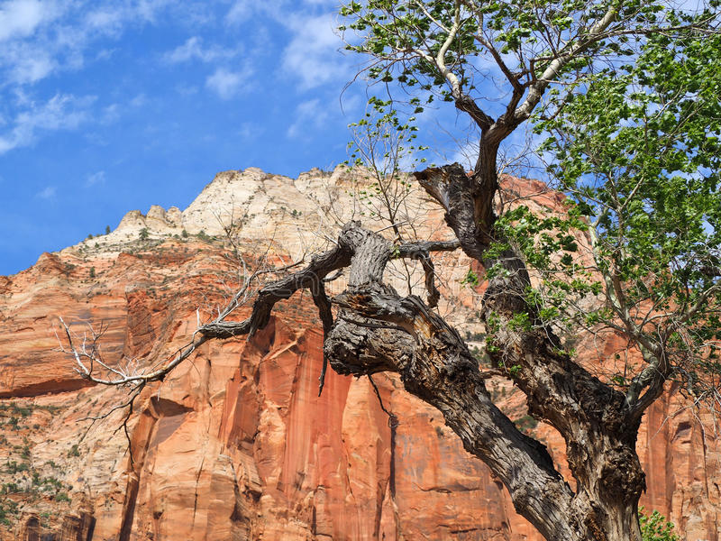 Old Twisted Cottonwood Tree in Zion. An old twisted cottonwood tree with the background of Zion`s massive sandstone cliffs in Utah`s first National Park royalty free stock image