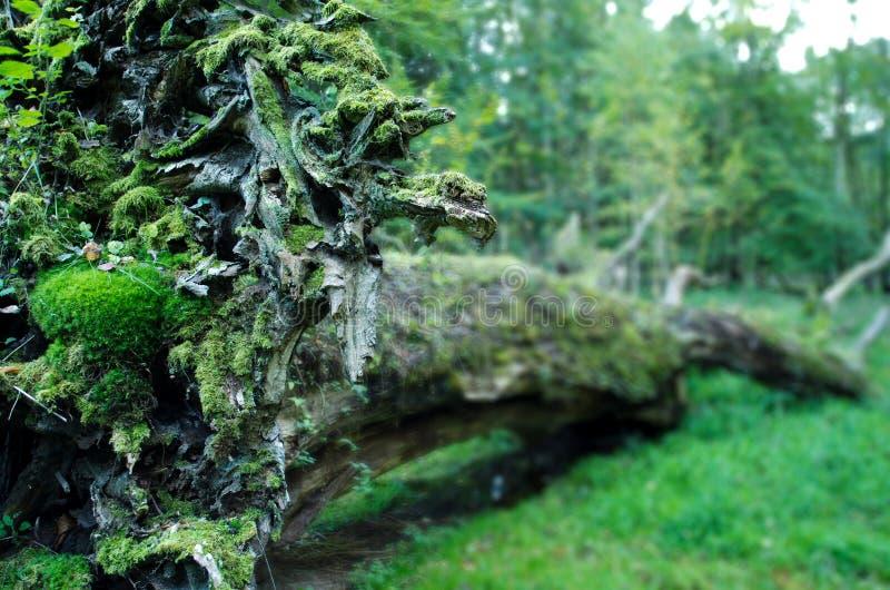 Old uprooted oak. At Ivenack, Mecklenburg-Vorpommern, Germany stock photo