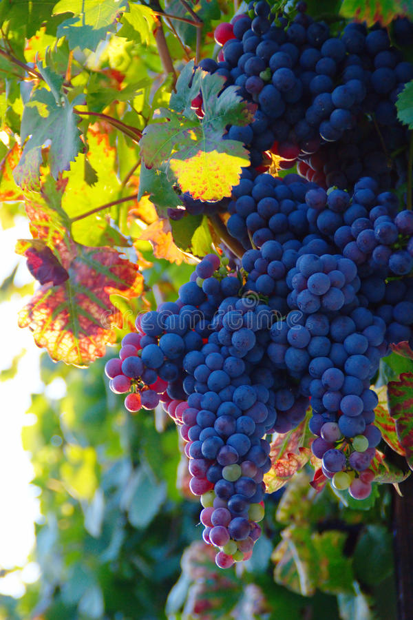 Old Vine's Grape In Sunset royalty free stock photos