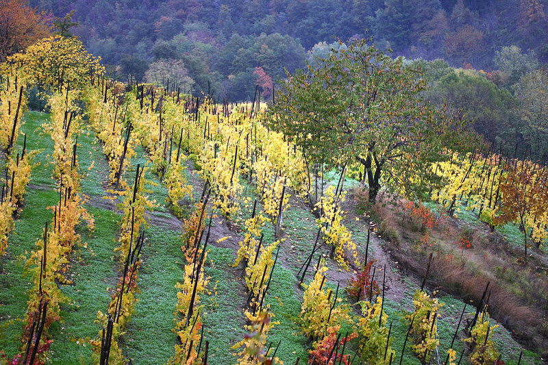 Old vineyard in Italy. Colors of autumn vineyards after the rain in the Scuropasso Valley, Montecalvo Versiggia, Oltrepo Pavese, Pavia, Italy stock photos
