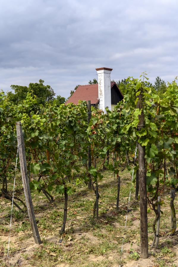 Old vineyard near Zielona Gora in Poland. Old vineyard and small house near Zielona Gora in Poland royalty free stock images