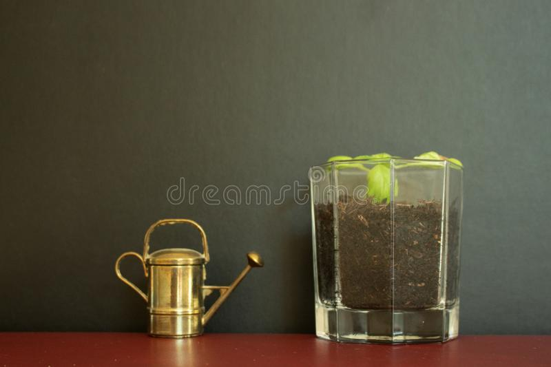Old vintage watering can tool besides glass filled with little plant. An old golden vintage watering can tool standing besides a glass filled with little basil royalty free stock photo