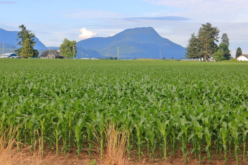 Old Volcano and Rich Farm Land. The remnant of an old, standing volcano and rich volcanic land that produces abundant sweet corn for the farmers royalty free stock photography