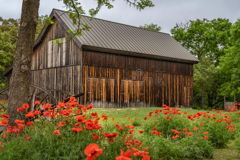 Old wagon parts next to tree among clusters of vivid red poppies. With antique barn in the background royalty free stock photos