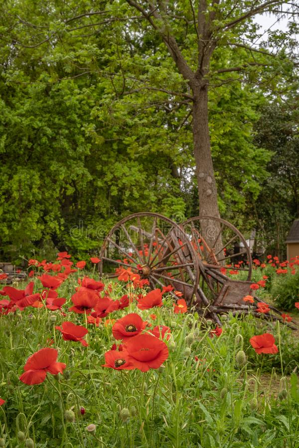Old wagon wheels and part among vivid red poppies. Next to a tree royalty free stock photography