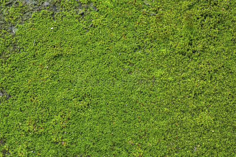 Old Wall Brick With Moss. Background of old wall brick with moss stock photos