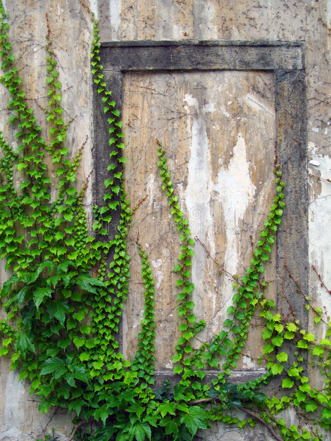 Old wall with ivy. Berry stock images