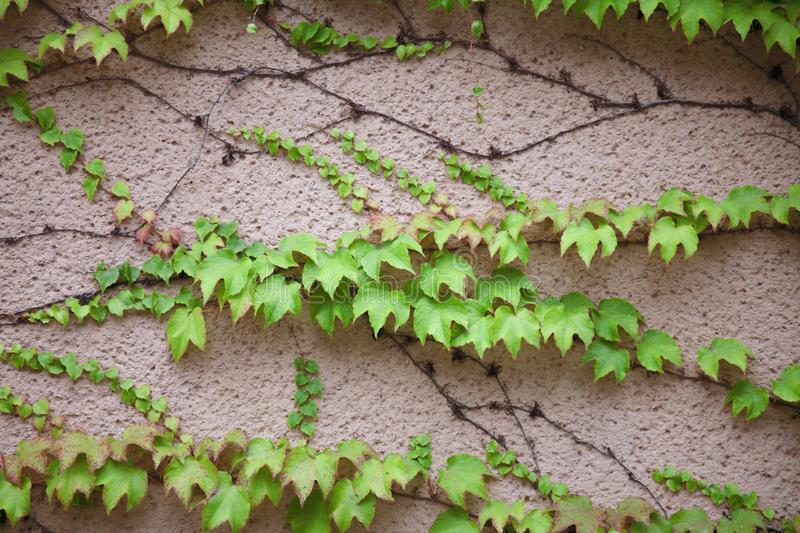 Old wall texture and pattern background covered in green ivy for stock images