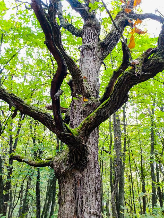 Old warrior tree. Old oak tree in the forest this was particular tree was known as the old warrior tree stock photo