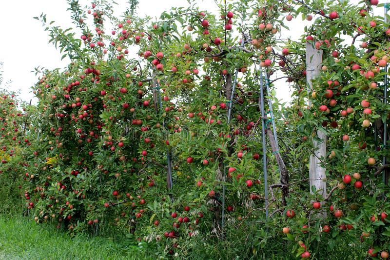 Apple tree branches bearing the weight of bright red and green apples ready for picking royalty free stock photos