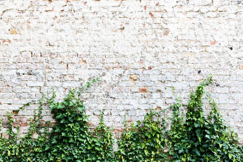 Old and weathered grungy brick wall painted in white with common ivy or English ivy, Hedera helix stock image