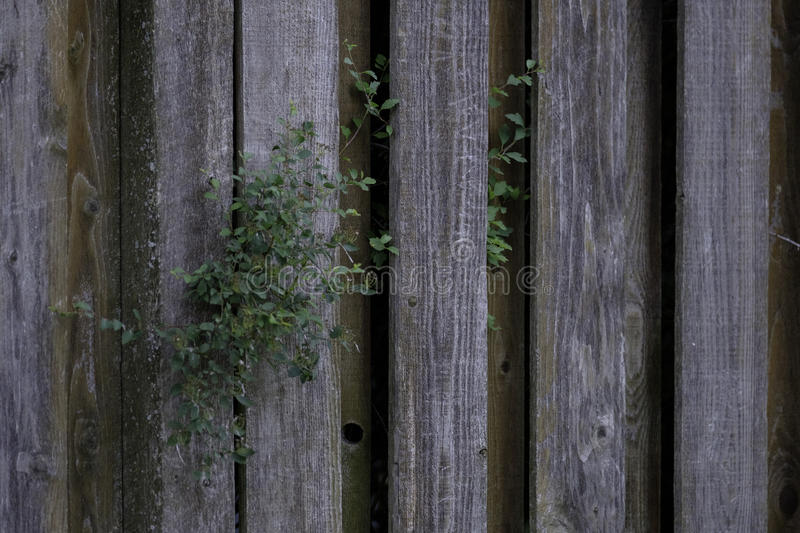 Old Weathered Knotty Pine Wood Fence with Foliage. Best used for coatings restoring products or textured backdrops royalty free stock photos