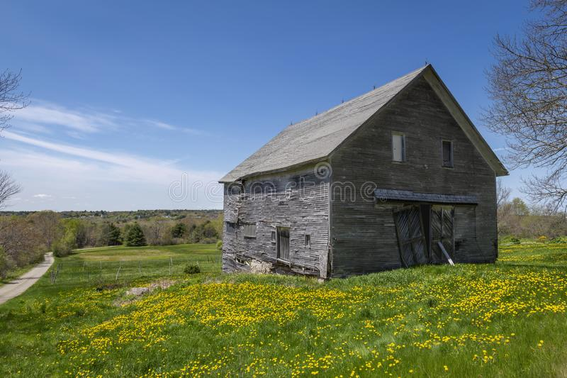 Old Gray Barn and Dandelions in Maine. An old weathered wood barn in a field of yellow Dandelions new Waldoboro, Maine stock photos