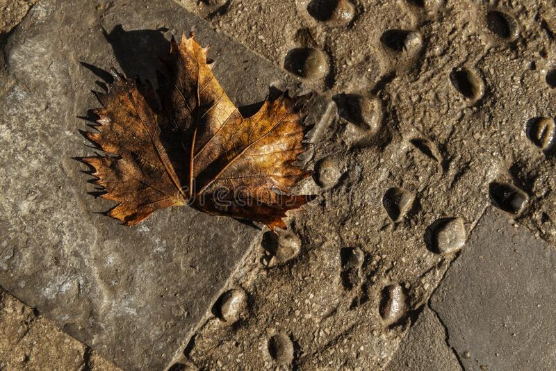 Old, wet, weathered maple leaf on stone ground stock images