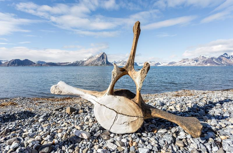 Old whale bone on the Arctic coast. Old whale bone on the coast of Spitsbergen, Arctic royalty free stock photos