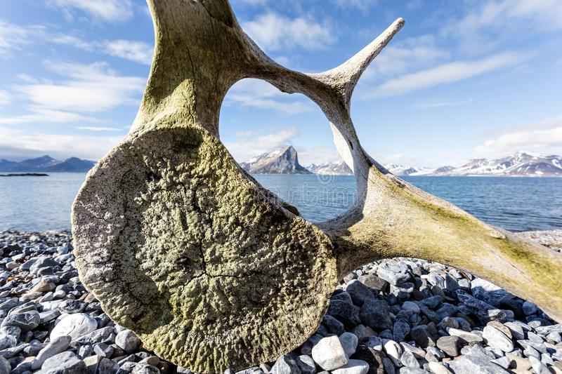 Old whale bone on the coast of Spitsbergen. Arctic royalty free stock photos