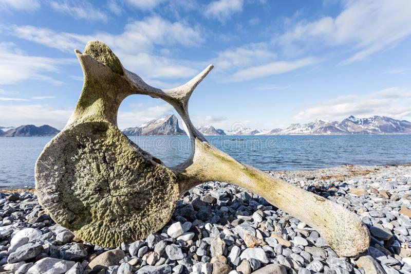 Old whale bone on the coast of Spitsbergen, Arctic. Old whale bone on the coast of Spitsbergen royalty free stock images