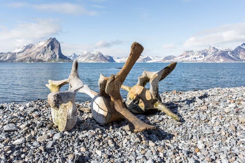 Old whale bones on the coast of Spitsbergen, Arctic. Svalbard stock photo
