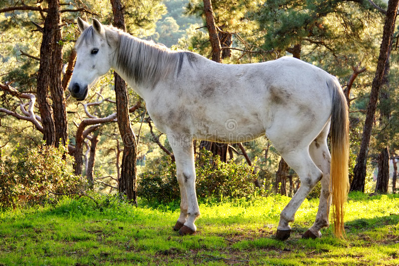 Download Old white horse stock image. Image of luster, pasture - 7438343