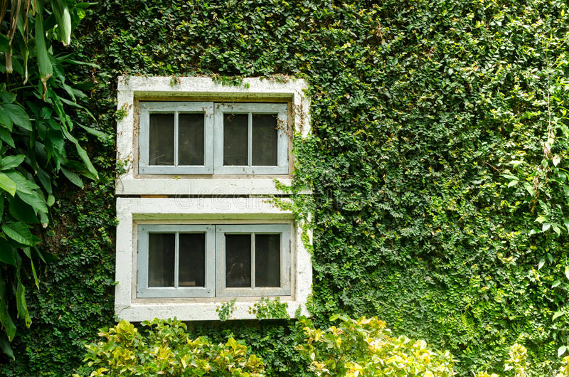 Old white window with green ivy climbing fig royalty free stock photo