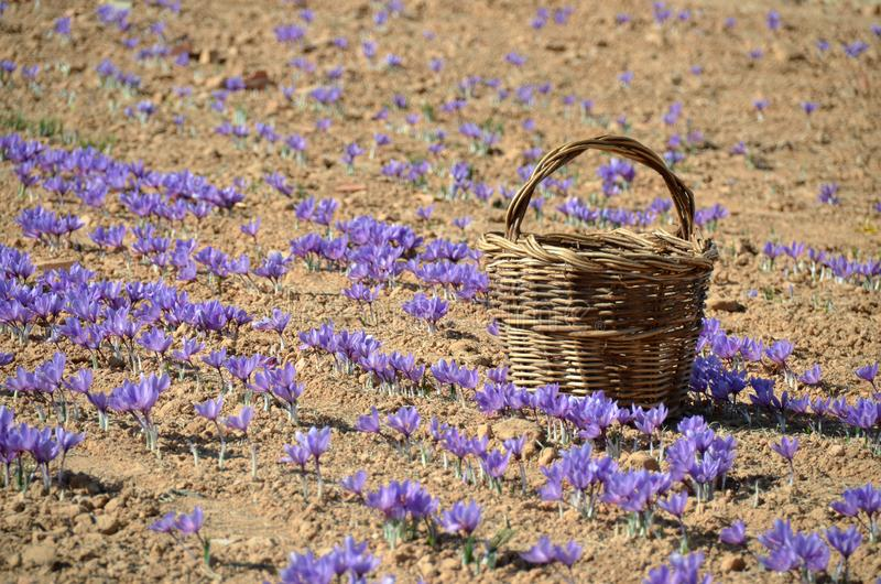 An old wicker basket in autumn crocus field royalty free stock photos
