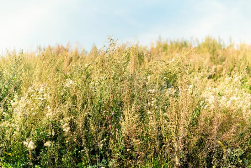 Old wild flower hay meadow in summer. Herbs, meadow with dried grass,  autumn nature backgrounds royalty free stock photos