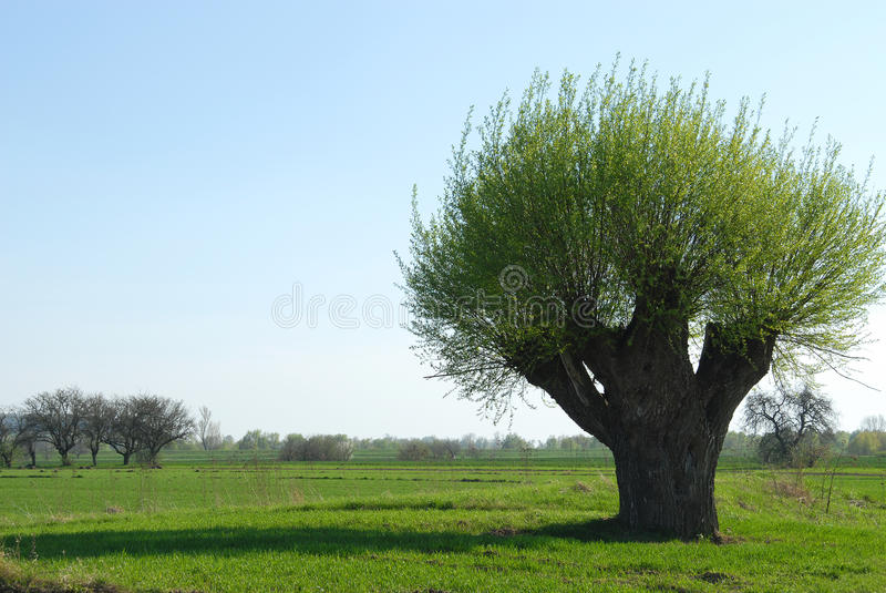 Old willow. Tree growing in the field royalty free stock photos