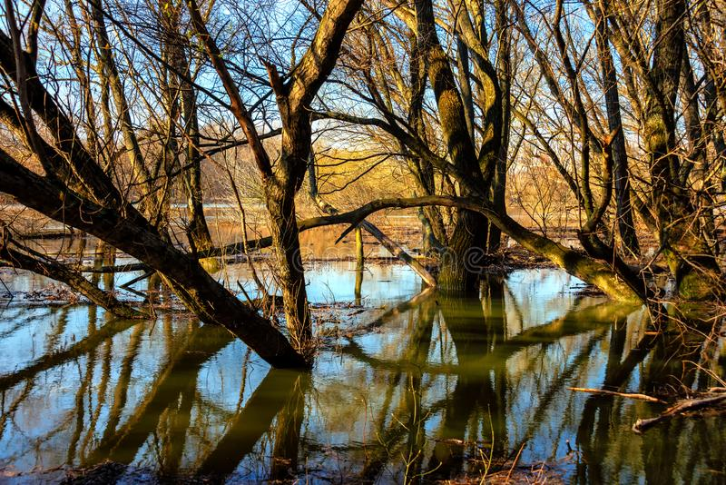 Landscape along morava river near devin. Old willow tree on Morava river basin, flood on meadows of the river Morava Protected landscape near Devin royalty free stock photo