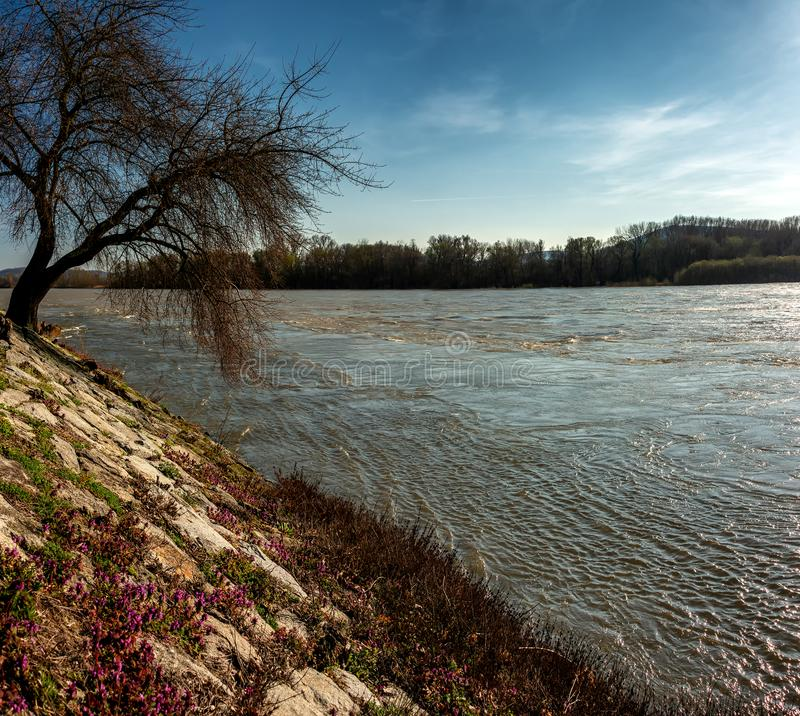 Landscape along morava river near devin. Old willow tree on Morava river basin, flood on meadows of the river Morava Protected landscape near Devin stock images