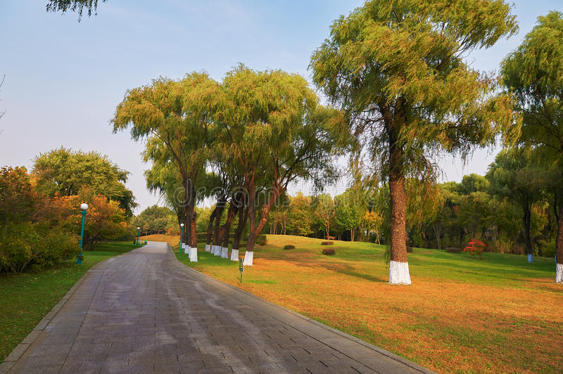 The old willows. The photo was taken in Sun Island park Harbin city Heilongjiang province, China royalty free stock image