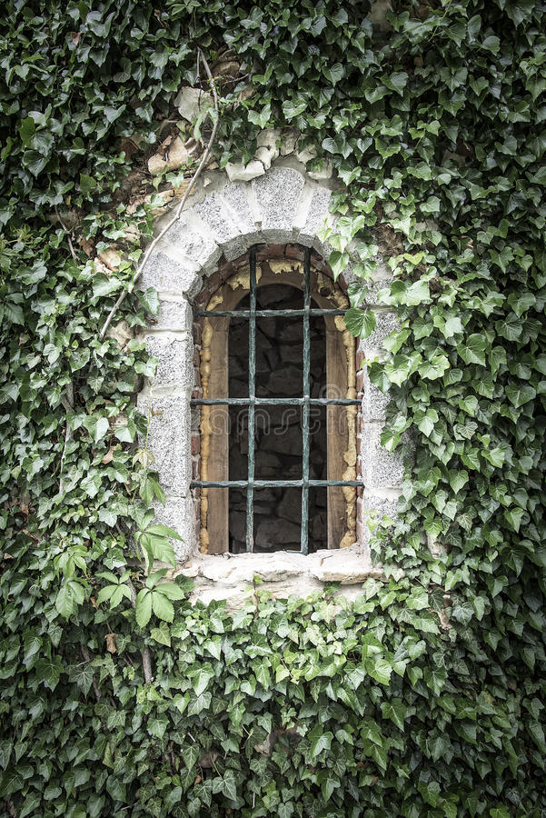 Old window entwined with ivy. royalty free stock photo