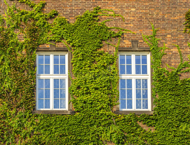 Old window with ivy growing on wall of bricks. Classic old window with ivy growing on wall of bricks royalty free stock photography