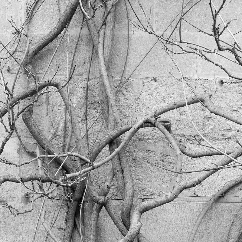 Old wisteria plant bare wines in winter - antique stone wall royalty free stock image