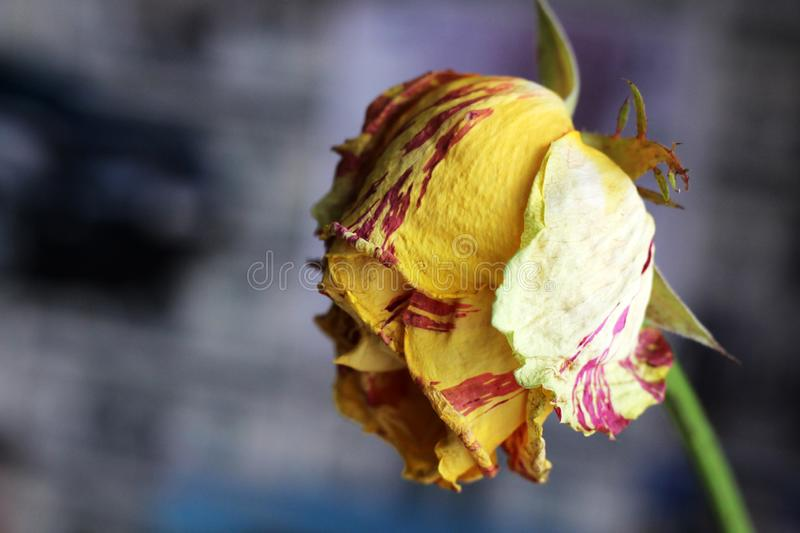 Old withered Tulip so close royalty free stock images