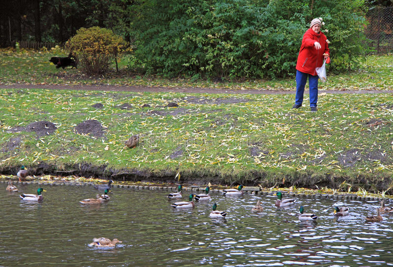 Old woman is feeding ducks at the lake stock images
