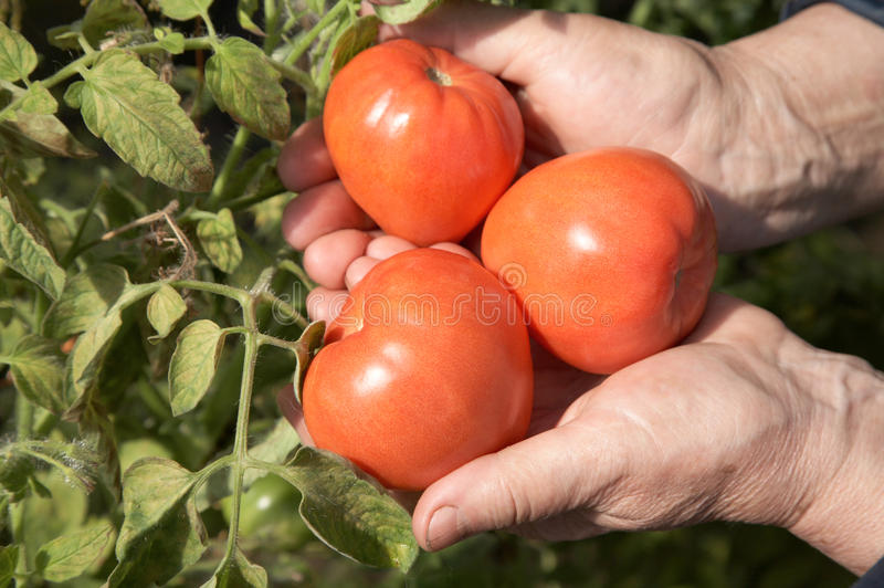 The old woman holds red tomatoes stock image
